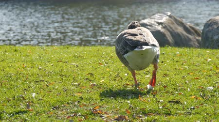 stomping : Funny goose pecks or eats grass on lawn