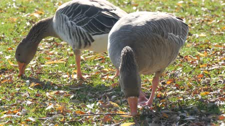 flock of geese : Funny gray geese eat grass in yard in early autumn. Fallen leaves on green grass
