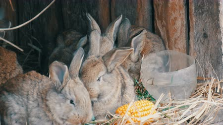 petit lapin : Beautiful funny little young rabbit cubs and their mom eat grass in a cage on farm.