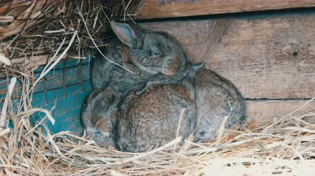 yalamak : Beautiful funny little young rabbit cubs and their mom sleep in a cage on farm. Stok Video