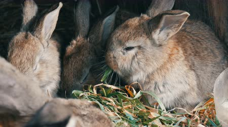 rabbit ears : Beautiful funny little young rabbit cubs and their mom eat grass in a cage on farm.