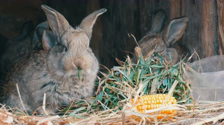 yalamak : Beautiful funny little young rabbit cubs and their mom eat grass in a cage on farm.