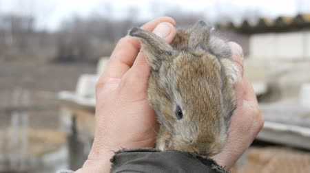 curioso : A little new born rabbit in the hands of a male farmer on outside