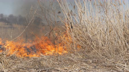 meteorological : View of terrible dangerous wild high fire in the daytime in the field. Burning dry straw grass. A large area of nature is in flames. Stock Footage
