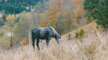 equestre : A beautiful gray horse grazes on a hillside in Carpathian mountains Vídeos