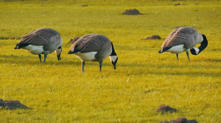 canadense : Beautiful purebred black and white canadian geese graze on green meadow in the park