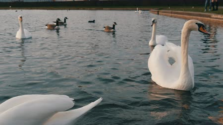 zahmetsiz : Beautiful luxurious white swans on pond in front of the Nymphenburg Palace, Munich, Bavaria, Germany