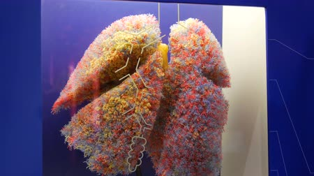 münchen : Munich, Germany - October 24, 2019: World famous The Deutsches Museum with realistic mock up of human lungs. Toy model of the anatomical