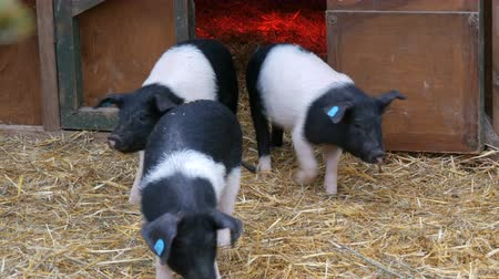 rozmnožování : Three funny black and white pigs walk and play near their crib in rural yard