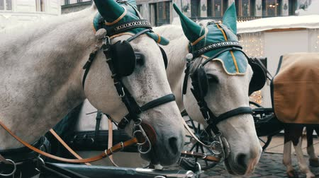 lő : Beautiful elegant dressed white horses in green headphones, blindfolds and hats, Vienna Austria. Traditional carriages of two horses on the old Michaelerplatz background of Hofburg Palace.
