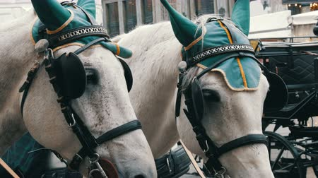 hofburg : Beautiful elegant dressed white horses in green headphones, blindfolds and hats, Vienna Austria. Traditional carriages of two horses on the old Michaelerplatz background of Hofburg Palace.