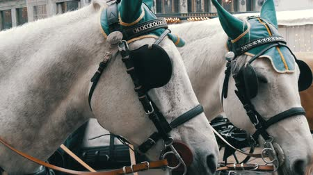 treinador : Beautiful elegant dressed white horses in green headphones, blindfolds and hats, Vienna Austria. Traditional carriages of two horses on the old Michaelerplatz background of Hofburg Palace.