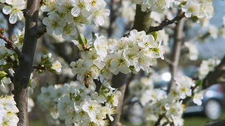 polinização : Bees pollinate blossoming fruit tree in the spring garden in beautiful motion