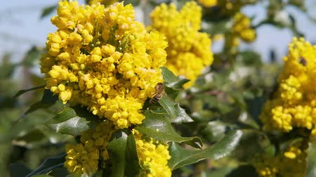 polinização : bees pollinate yellow bushes flowers on sunny day slow motion