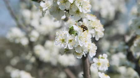 salva vidas : bee collects nectar in fruit tree with white petals