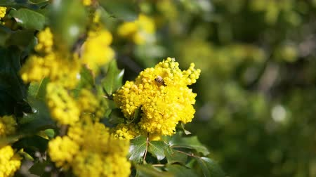polinização : Honeybee harvesting pollen from yellow blooming flowers on sunny day green motion background