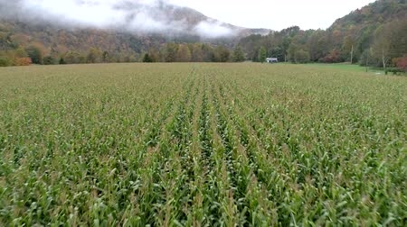 kukuřice : Aerial Drone - Skim Tops of Corn Field Ready to Harvest in Fall in Vermont.