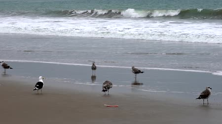 tengeri : San Pedro, Ecuador - September 15, 2018 - Sandpiper Walks Past Seagulls on Beach Stock mozgókép