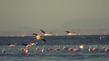flamingi : Flamingos take flight in marsh in Walris, Namibia