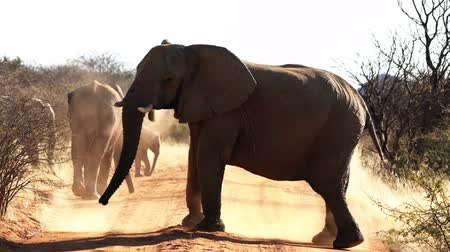 namibya : Elephants are seen throwing dirt upon their backs for sun and bug protection in Botswana
