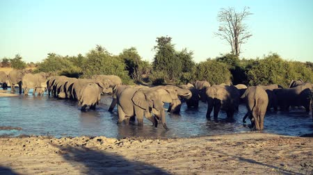 pień : A parade or herd of elephants is seen drinking from a natural water hole in Botswana