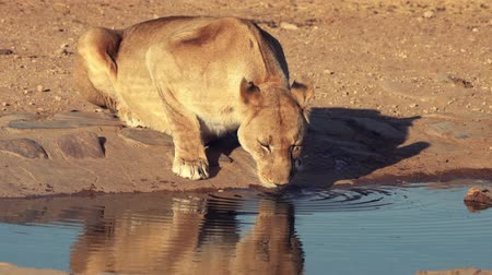 gato selvagem : Female lions drinks from a waterhole in Botswana Vídeos