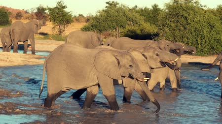 アイボリー : A parade or herd of elephants is seen drinking from a natural water hole in Botswana