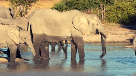 marfim : A parade or herd of elephants is seen drinking from a natural water hole in Botswana