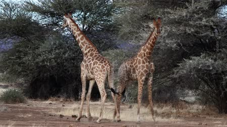 prędkość : Two young male giraffes are seen fighting for the affections of a female in Botswana. The video is normal speed, but the fight almost appears to happen in slow motion.