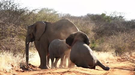 namibya : A baby elephant is seen playing with his older sibling in Botswana