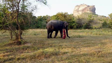 marfim : Nogombo, Sri Lanka- 2019-03-22 - Elephant and His Handler Walk in Field in Front of Sigirlya Rock.