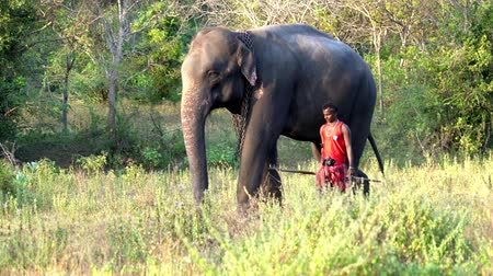 marfim : Haberna, Sri Lanka- 2019-03-22 - Elephant and His Handler Walk Side By Side Through Field.