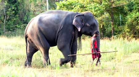 marfim : Haberna, Sri Lanka- 2019-03-22 - Elephant and His Handler Walk Through Field.