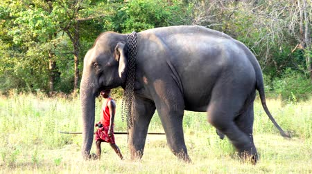 marfim : Haberna, Sri Lanka- 2019-03-22 - Elephant Handler Can Be Seen Behind His Animal As They Walk Through Field.