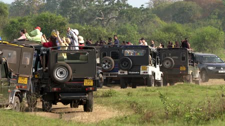 посетитель : Minneriya National Park, Sri Lanka - 2019-03-23 - Safari People 4 - Line of Jeeps Jocky For Position. Стоковые видеозаписи