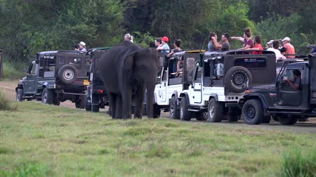 kolejka : Minneriya National Park, Sri Lanka - 2019-03-23 - Safari People 5 - Elephant Eats Grass Near Line of Jeeps.