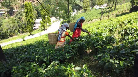 malásia : Nuware, Sri Lanka - 2019-03-26 - Two Women Pick Tea Leaves on Hillside. Vídeos