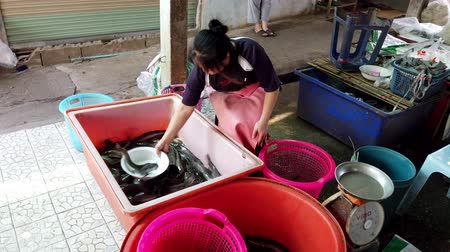 batatas : Chiang Saen, Thailand - 2019-03-10 - Woman Uses Dish To Move Live Catfish Between Bins.