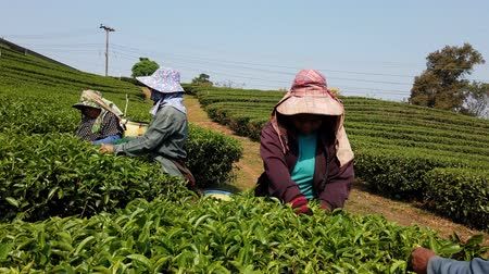 coletando : Mae Saiong. Thailand - 2019-03-11 - Women Harvest Tea Fields For Young Tea 10 - low.