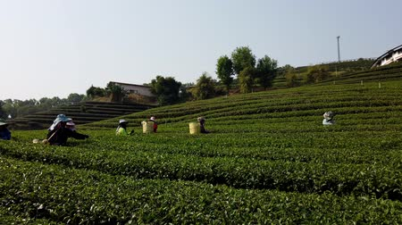 coletando : Mae Saiong. Thailand - 2019-03-11 - Women Harvest Tea Fields For Young Tea 9 - Factory in Background. Stock Footage