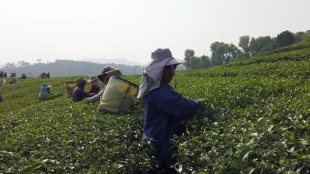 coletando : Mae Saiong. Thailand - 2019-03-11 - Women Harvest Tea Fields For Young Tea 2 - close.