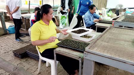 sera : Mae Saiong. Thailand - 2019-03-11 - Woman Transplants Seedling To Greenhouse Tray.