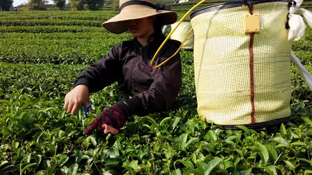 coletando : Mae Saiong. Thailand - 2019-03-11 - Women Harvest Tea Fields For Young Tea 4 - One Person.