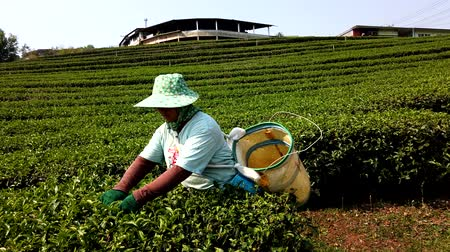 coletando : Mae Saiong. Thailand - 2019-03-11 - Women Harvest Tea Fields For Young Tea 14 - Low With Factory Behind.