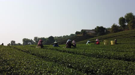 coletando : Mae Saiong. Thailand - 2019-03-11 - Women Harvest Tea Fields For Young Tea 8 - Low.