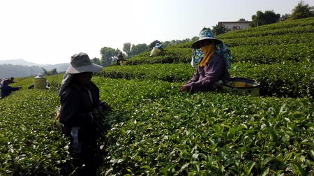 coletando : Mae Saiong. Thailand - 2019-03-11 - Women Harvest Tea Fields For Young Tea 12 - Low Side.