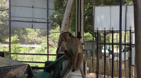 tomar : Kataragama, Sri Lanka - 2019-03-29 - Monkey Sits on Rail at Edge of Restaurant.