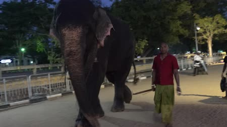 marfim : Kataragama, Sri Lanka - 2019-03-29 - Man Walks With His Elephant Down Road.
