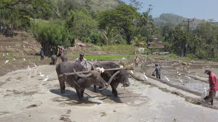 шри : Kataragama, Sri Lanka - 2019-03-29 - Water Buffalo Teams Work Flooded Rice Field While Man Builds Mud Walls.