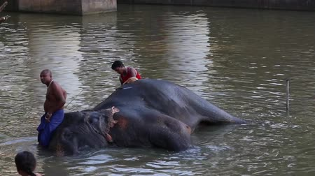 Kataragama, Sri Lanka - 2019-03-29 - Elephant Gets Bath in River 1. Vidéos Libres De Droits